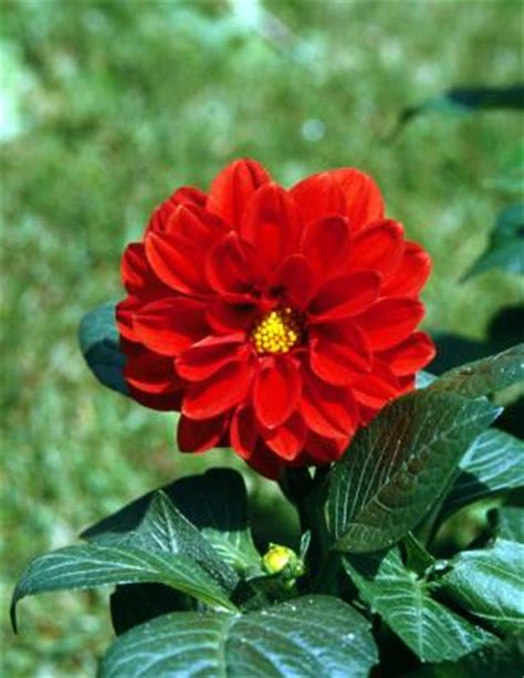how to care for dahlias in the winter home guides sf gate