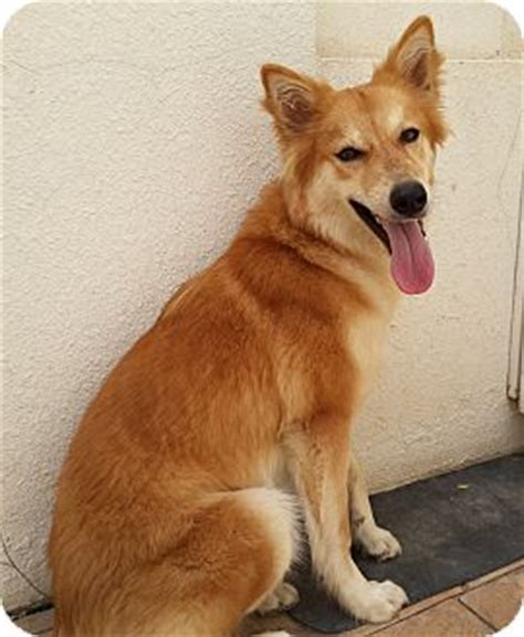 golden retriever calgary calgary ab golden retriever german shepherd mix meet romina a for adoption