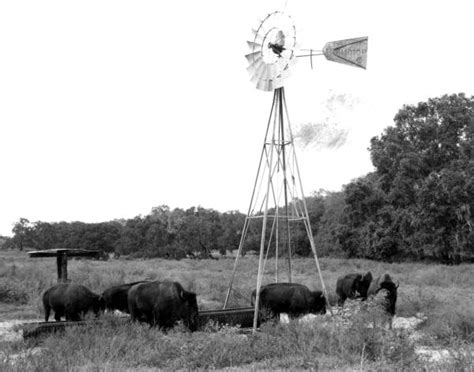 Alachua County Florida Records Florida Memory Buffalo Gathered Around A Windmill At Paynes Prairie Near Gainesville