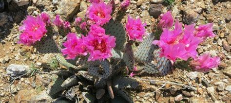 anza borrego desert flowers anza borrego our tribute to the beautiful anza borrego