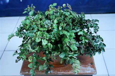 gambar  manfaat bunga kenanga putih jenis tanaman terbaru