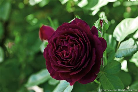 libro the rose rhs come potare le rose erbaviola com grazia cacciola
