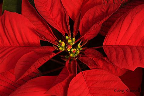 Pointsettia Alpenglow Images Poinsettia Photographs By Greg Russell
