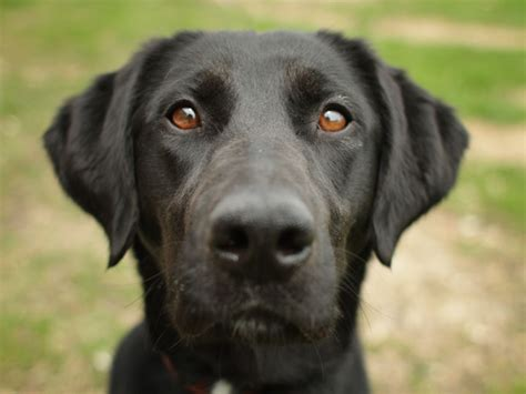 labrador retriever puppy rescue labrador retriever dogs for adoption and rescue auto design tech