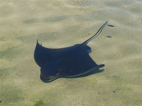 bat ray facts habitat adaptations behavior diet pictures