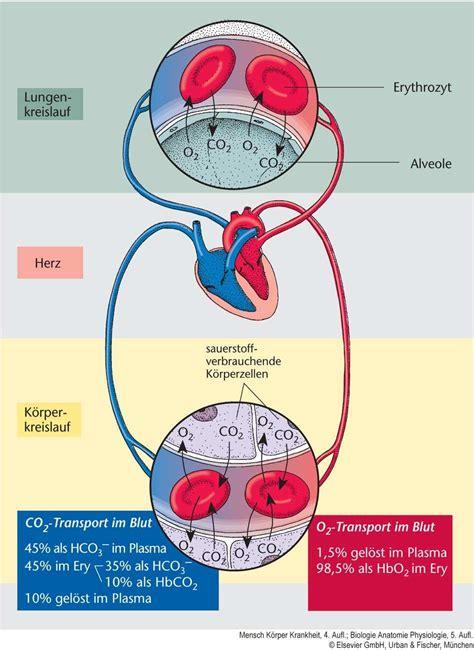blut luft schranke airwaymanagement anatomische und physiologische