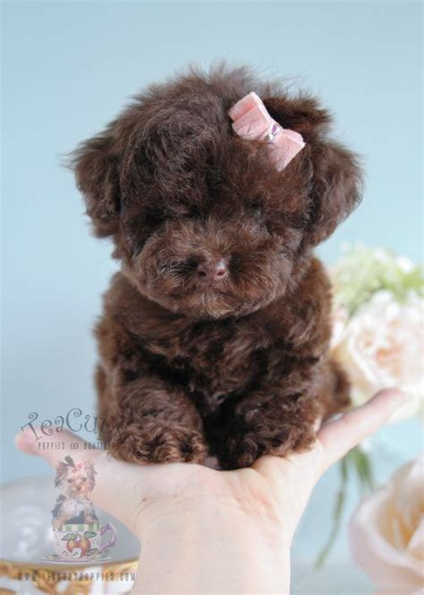 teacup poodle puppies best 25 teacup poodle puppies ideas only on poodle puppies maltese