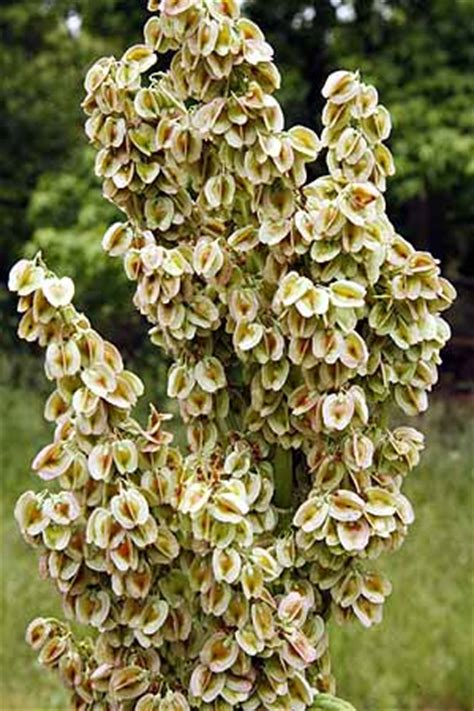 rhabarber englisch rhubarb garden rheum rhabarbarum organically