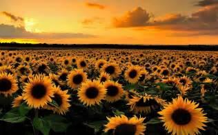sunflower field wallpaper 265822 sunflower field at sunset computer wallpapers desktop