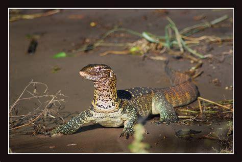 Nile Monitor nile monitor bite images