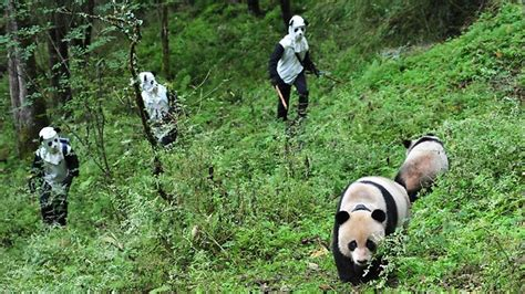 what s the best costume humans and nature books keepers in china dress up as pandas to baby cub who