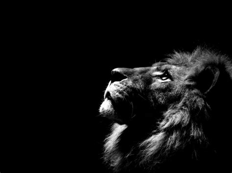 wallpaper black lion black lion wallpaper free hd wallpapers