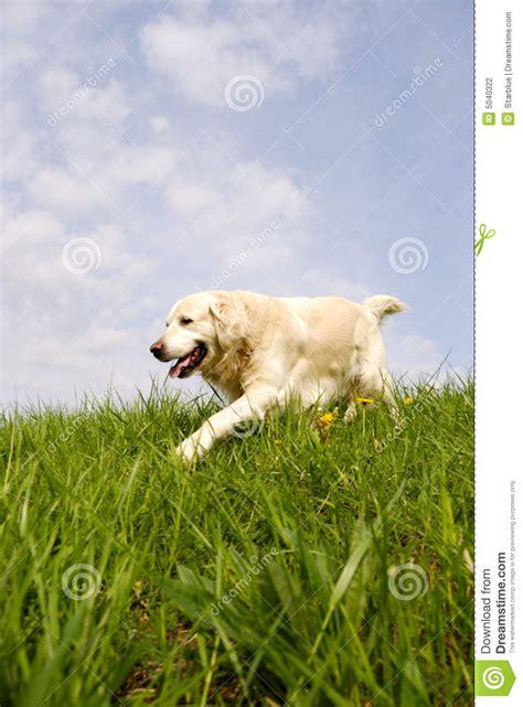 golden retriever walking golden retriever walking stock photography image 5040322
