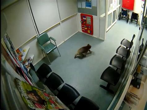 st cloud hospital emergency room koala wanders into australian hospital waiting room wric