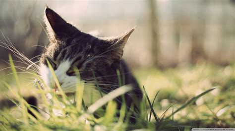 cat eating wallpaper download cat eating grass 2 wallpaper 1920x1080