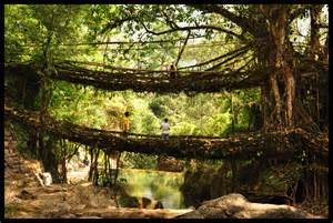 What Is Root Bridge living root bridges are to be found in cherrapunji laitkynsew and