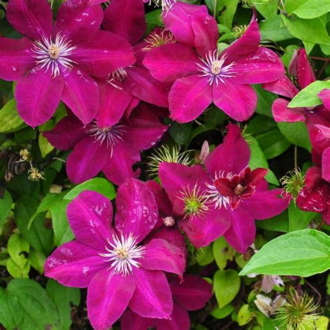 climbing plant names 17 best images about clematis on white