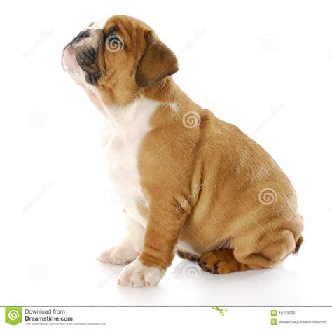 looking for free puppies puppy looking up royalty free stock images image 16233729