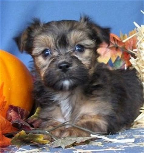 yorkie apso puppies yorkie apso breed information and pictures