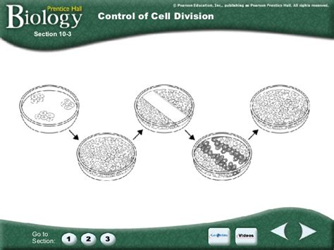 section 10 3 regulating the cell cycle chapter 10 cell cycle