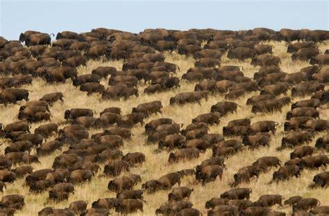 amerikanischer herd buffalo roundup 187 activities 187 custer state park resort