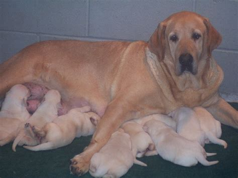blooded lab puppies for sale in sc yellow lab puppies for sale and yellow lab puppy breeder