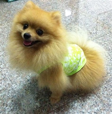 do pomeranians bark a lot 135 best images about pommy pomeranian on barking toys and