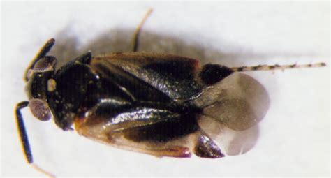 bug acis rhiad210