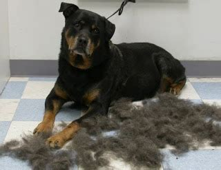problems with rottweilers rottweiler or rottie australian lover