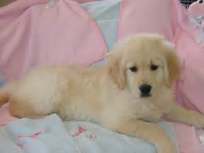 Golden retriever puppies for sale golden retriever 2222 puppy for sale