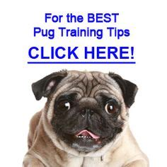 common health problems with pugs 1000 images about pug problems on pug behavior and a pug