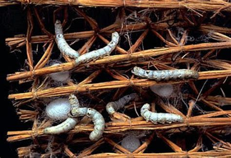 Thread Of The Silkworm silkworm production damn cool pictures