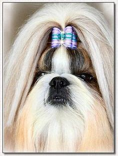 elite shih tzu shih tzu mr foos quot stevie quot modeling a hearts bow by doggie bow ties