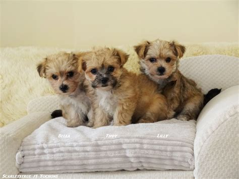 yochon puppies for sale yochon f1 hybrid puppies from health tested parent llanelli carmarthenshire