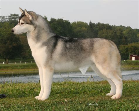 dog house for siberian husky home siberian husky siberian husky dog breeds picture