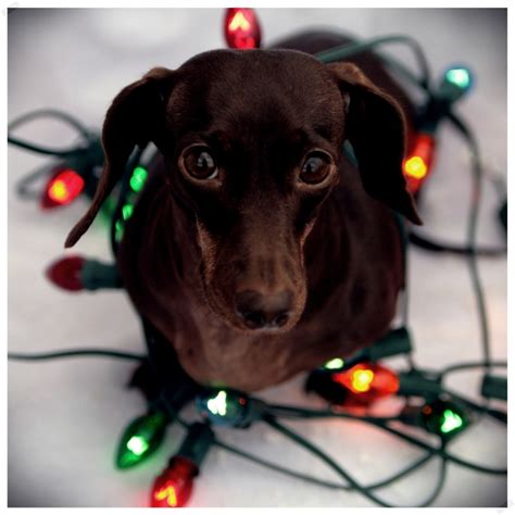 dachshund christmas lights 17 images about dogs wrapped in lights on trees pets and puppys