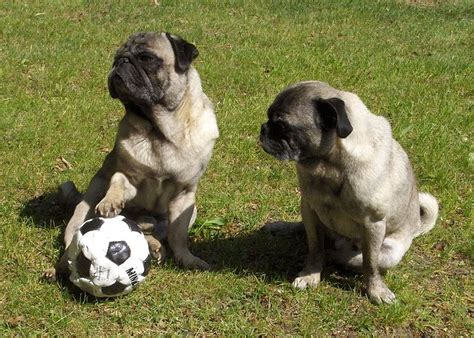 soccer pugs dogs soccer that will motivate you what every deserves