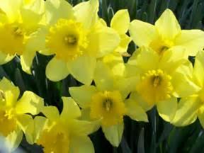The Flower Daffodil - 212 daffodil flower wallpapers