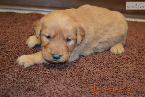 golden retriever breeders south dakota golden retriever puppy for sale near northeast sd south dakota b89edea9 e4f1