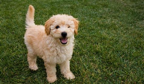 mini goldendoodles hypoallergenic goldendoodle breed information