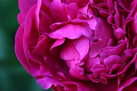pink peonies blog eye candy friday