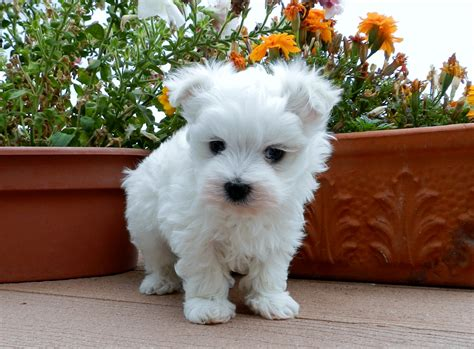 puppies for sale maltese puppies for sale archives maltese puppies