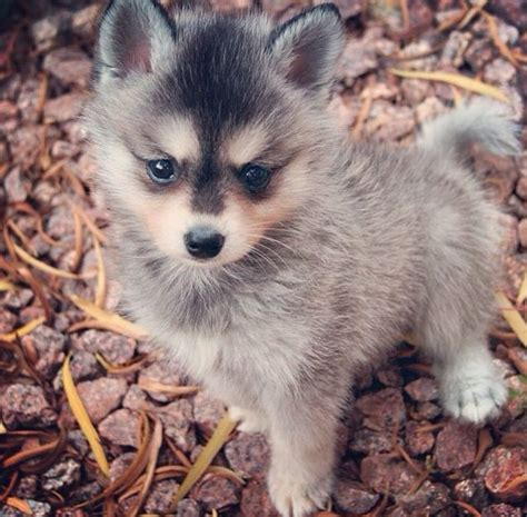 Alaskan Klee Kia 25 Best Ideas About Miniature Husky On