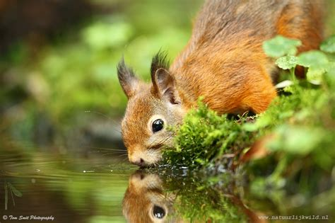 red squirrels focusing on wildlife
