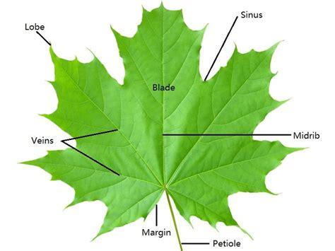 tree leaf diagram anatomy anatomy plants anatomy and leaves