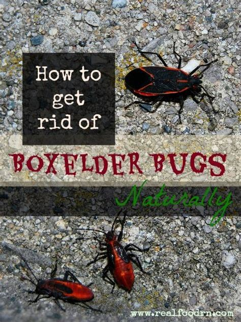 How To Get Rid Of Bugs In Food Pantry how to get rid of boxelder bugs naturally real food rn how to get rid how
