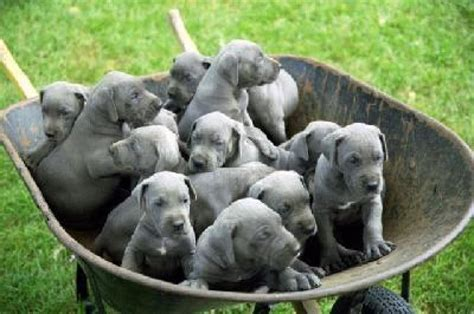great dane puppies rescue and great dane puppy for adoption offer