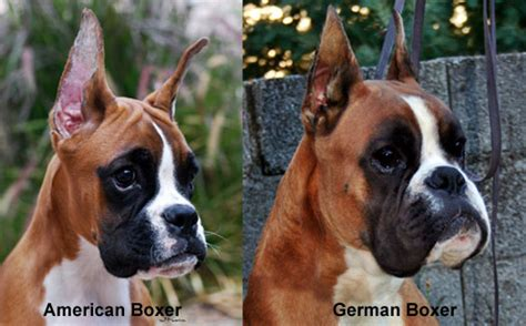 the longhaired boxer books boxer german boxer deutscher boxer breeds picture