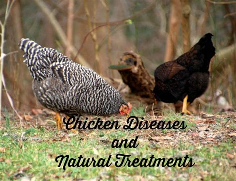 top chicken diseases and treatments