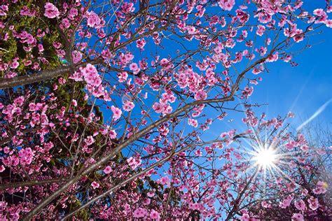 blossom trees free photo cherry blossom tree nature free image on